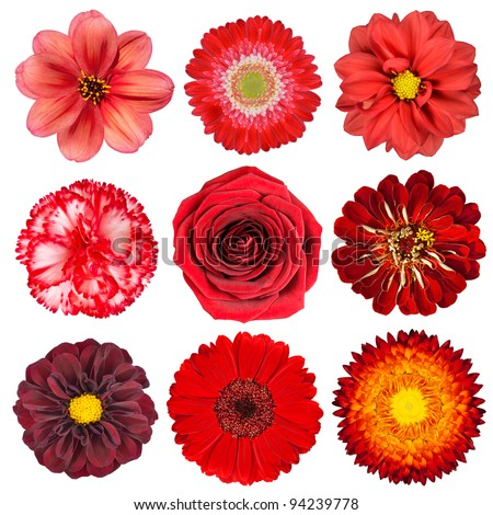 Selection of Various Red Flowers Isolated on White Background. Set of Nine Dahlia, Gerber, Daisy, Carnation, Rose, Zinnia Flowers - stock photo