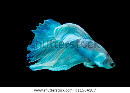Selective focus and one dramatic lighting on the top  of betta fish or Siamese fighting fish (betta)on black background - stock photo