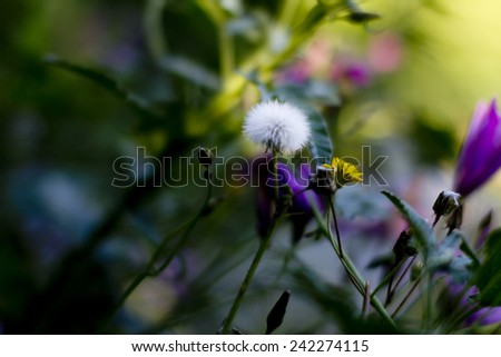Selective focus background of a fluffy delicate dandelion clock in a spring meadow amongst wildflowers with blur and copyspace - stock photo