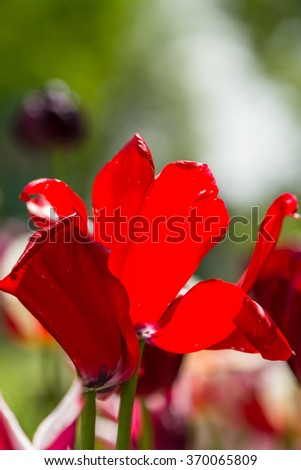 Selective focus close up of beautiful white, yellow and red tulip with other flowers behind it outdoors - stock photo