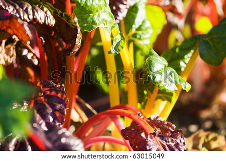 Selective focus close-up of Rainbow Chard in sunlight - stock photo