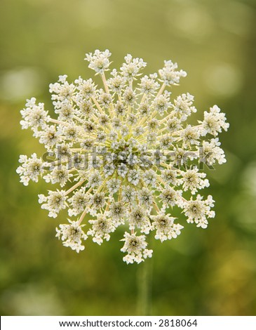 Wild Carrot Stock Images Royalty Free Images Amp Vectors