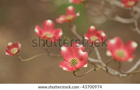 Selective focus image of a red dogwood tree blossoms in full bloom. - stock photo