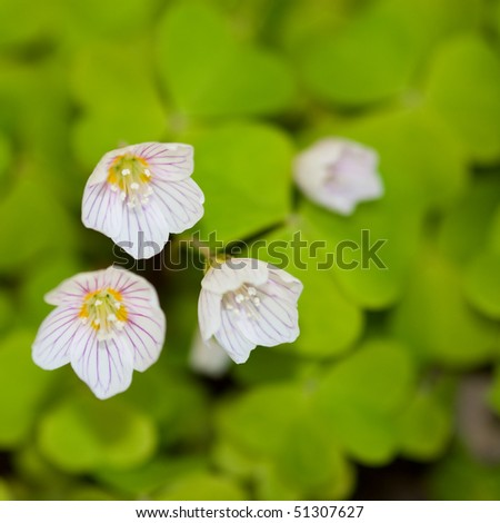 Selective focus image of common wood sorrel, also known as oxalis acetosella - stock photo