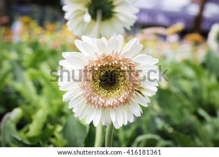 selective focus image of white blooming Gerbera plant in the nursery.blurred background at sunny day - stock photo