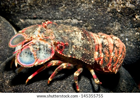 Selective focus of a colorful Spanish or Shovel-nosed lobster against a background of black sand and  lava off of Big Island, Hawaii.