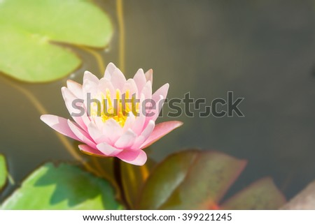 selective focus of beautiful pink lily water with leave and branch in the pond - stock photo