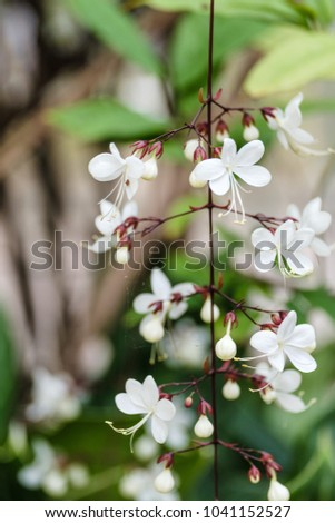 Selective focus beautiful white flowers vines stock photo royalty selective focus of beautiful white flowers vines or nodding clerodendron or bridal veil with close up mightylinksfo
