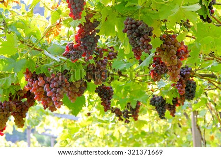 Selective focus of grape at Vineyard in Lana, South Tyrol in northern Italy - stock photo