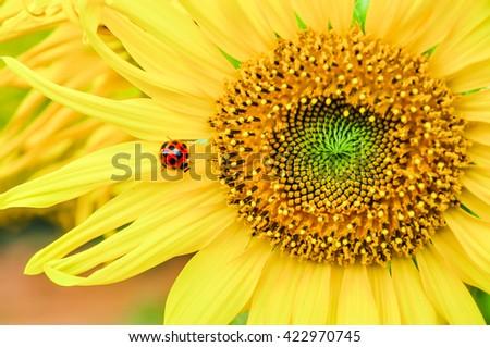 Selective focus of ladybug on sunflower. close up of sunflower background. warm filter. - stock photo