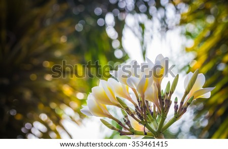 selective focus of  plumeria flowers  in the field with filter color - stock photo