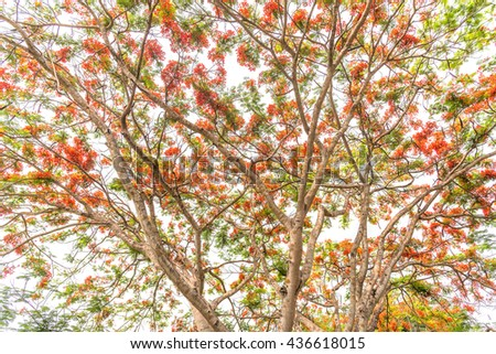 Selective focus of Royal Poinciana tree (Peacock flower)