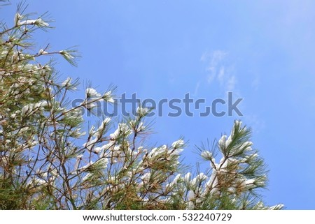 Selective focus of snow powder on the pine leafs with blue sky copy space