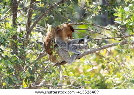 Selective focus of the proboscis monkey, Nasalis Larvatus or long-nosed monkey, known as the bekantan, is a reddish-brown arboreal Old World monkey that is endemic to the southeast island of Borneo.