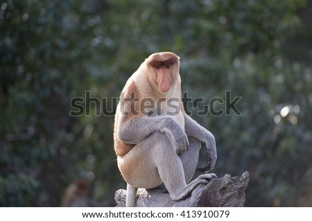 Selective focus of the proboscis monkey, Nasalis Larvatus or long-nosed monkey, known as the bekantan, is a reddish-brown arboreal Old World monkey that is endemic to the southeast  island of Borneo. - stock photo
