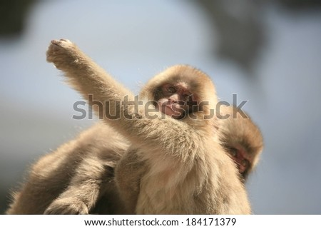 Selective focus of two Japanese macaques (snow monkeys) near each other. - stock photo