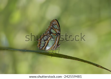 Selective focus on a perched Malachite (Siproeta stelenes) butterfly. Photo taken in Chiriqui, Panama.  - stock photo
