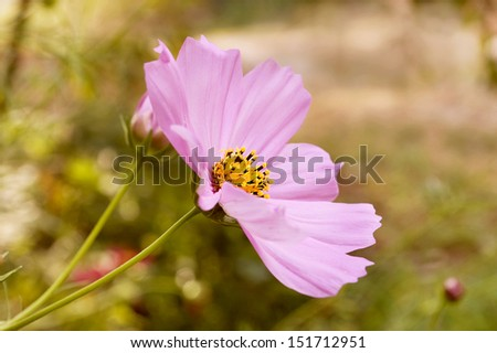 Selective focus on a pink cosmos flower. - stock photo