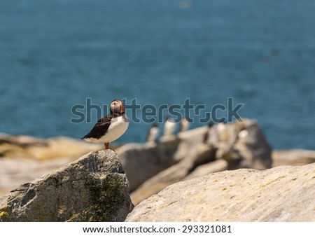 Selective focus on Atlantic Puffin (Fratercula artica) in foreground with other breeding seabirds and Atlantic Ocean in background.  Machias Seal Island, Bay of Fundy. - stock photo