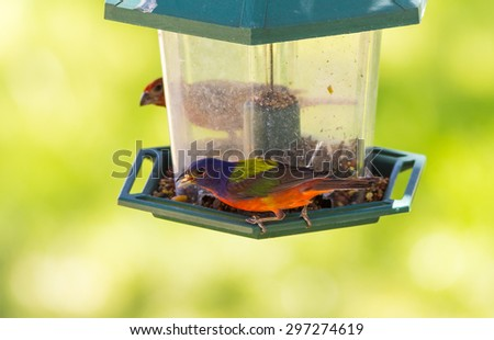 Selective focus on brightly colored Male Painted Bunting (Passerina ciris) perched on plastic bird feeder with soft green background. - stock photo