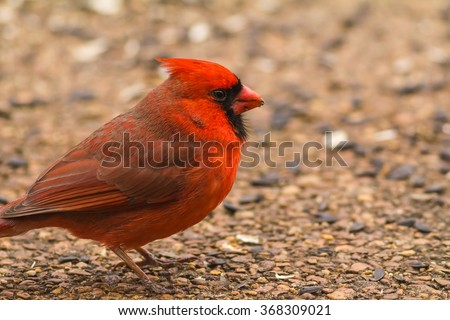 Selective focus on closeup of Male Northern Cardinal (Cardinalis cardinalis) on backyard patio with black oil sunflower seed. - stock photo