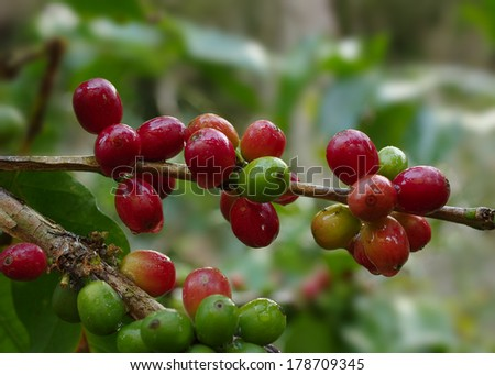 Selective focus on coffee berries on branch. Location: a coffee plantation in Boquete, western Panama (Central America).  - stock photo