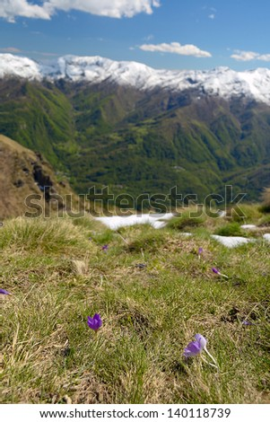 Selective focus on new born flowers (Crocus) in the foreground and snowcapped mountain range in the background. Shallow depth of field. Location: western Alps, Gran Paradiso National Park, Italy. - stock photo