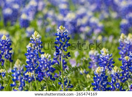 Selective Focus on single Texas Bluebonnet (Lupinus texensis) with shallow dof to emphasize the foremost flower in a large patch.