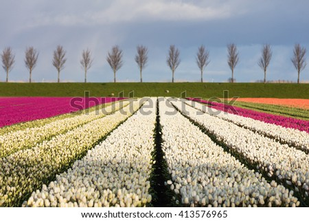 Selective focus photograph of colorful tulips rows in Holland, Europe, with young trees at the horizon line - stock photo