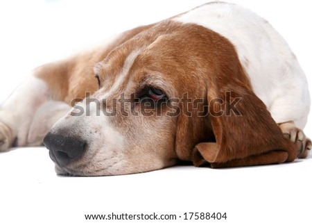 selective focus portrait of basset hound face and nose