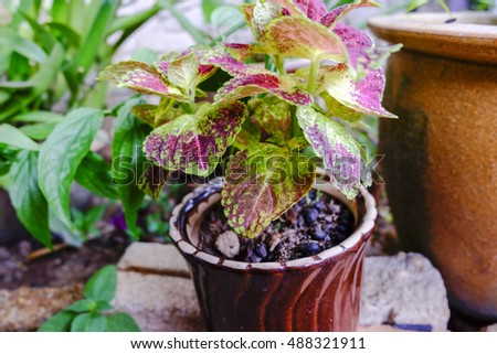 selective focus shot, Coleus ( Solenostemon scutellaides) plant in ceramic pot. vantage color effect.