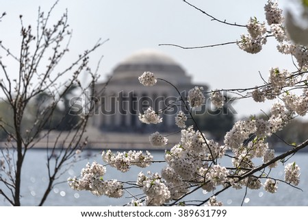 Selective focus was used on this image of cherry tree blossoms in full bloom in DC.  The de-focused iconic landmark Jefferson Memorial can be seen in the distance on the tidal basin in Washington, DC. - stock photo