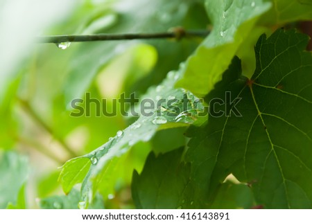 selective focus water drops on grape leaf in vineyard