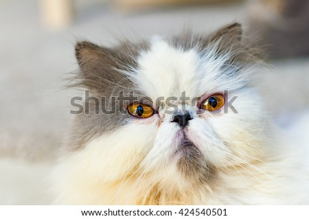 Selective soft focus of close up grumpy cat head shot - stock photo