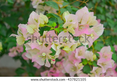 Hydrangea quercifolia Alice | Sol o sombra amorosa arbusto con flores | mariposa amante | Hedge Plant