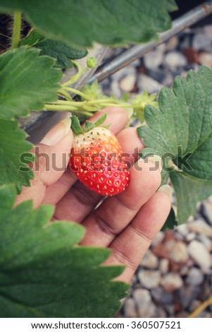 Selfie of hand with fresh strawberries - stock photo