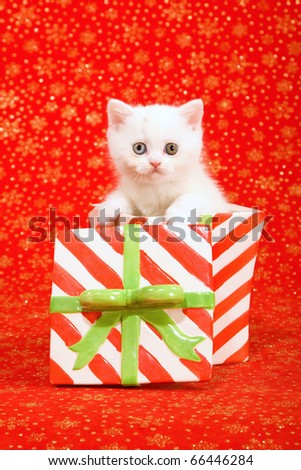 Selkirk kitten sitting inside Christmas jar container - stock photo