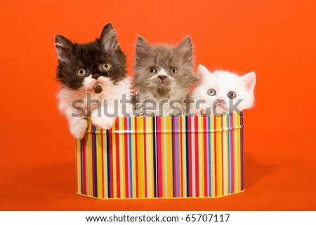 Selkirk kittens sitting inside striped container - stock photo