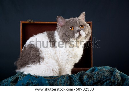 Selkirk Rex cat sitting in small suitcase