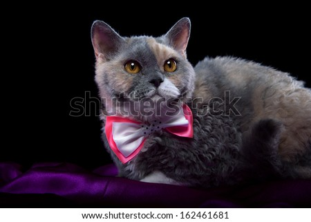 Selkirk Rex cat with colored decoration - stock photo