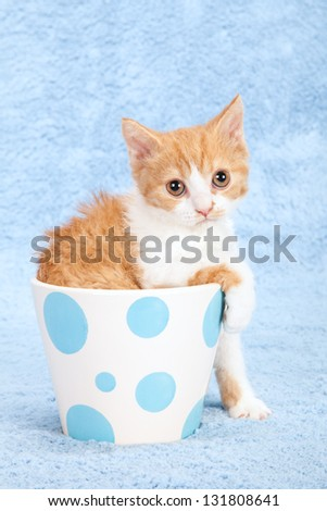 Selkirk Rex kitten in blue and white polka dot vase pot container on blue background - stock photo