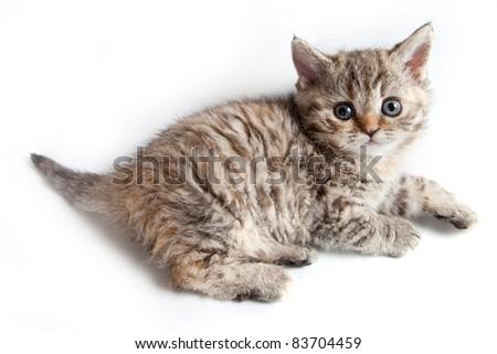 Selkirk Rex kitten on white - stock photo