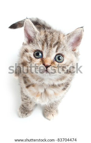 Selkirk Rex kitten on white