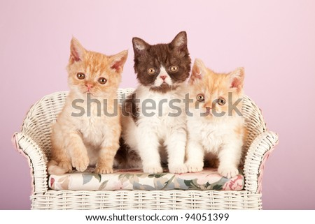 Selkirk Rex kittens sitting on miniature wicker bench on pink background - stock photo