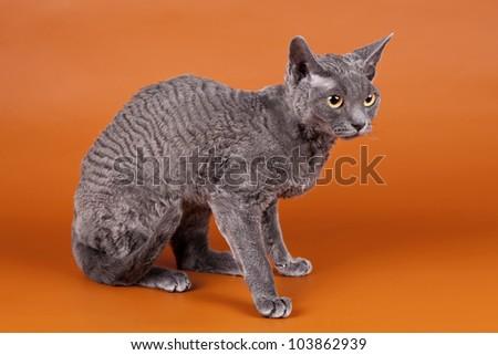 Selkirk rex on orange background - stock photo