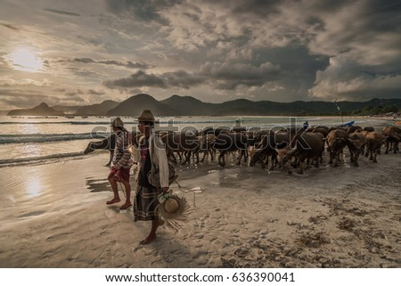 Selong Belanak beach, South Lombok, Indonesia - April 21, 2017 : Shepherds guiding their herd of water buffaloes over the beach back home