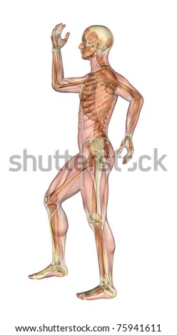 Semi-transparent image of a man standing sideways, with her arms and leg bent - showing the skeleton with a semitransparent overlay of the muscles. 3D render. - stock photo