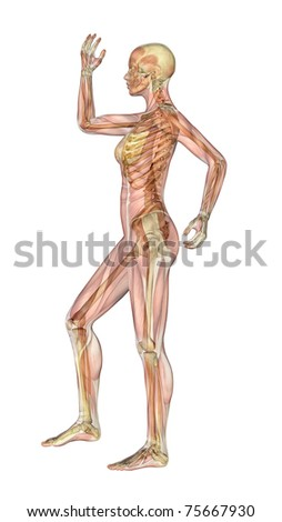 Semi-transparent image of a woman standing sideways, with her arm and leg bent - showing the skeleton with a semitransparent overlay of the muscles. 3D render. - stock photo