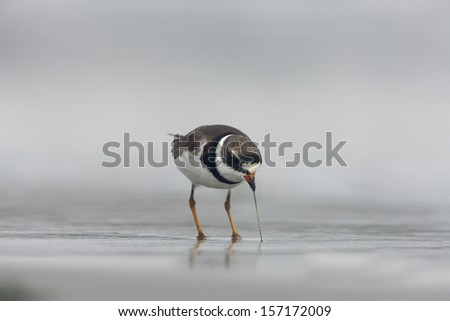 Semipalmated plover, Charadrius semipalmatus, single bird standing by water, New York, USA, summer,       - stock photo
