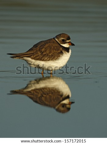 Semipalmated plover, Charadrius semipalmatus, single bird standing in water with reflection, New York, USA, summer, flight